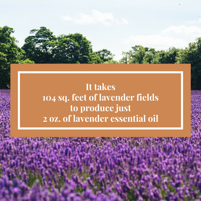 lavender essential oil field